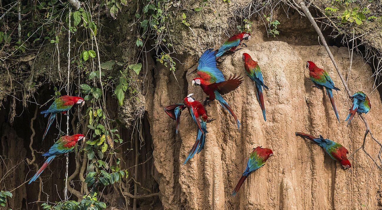guacamayos en amazonia